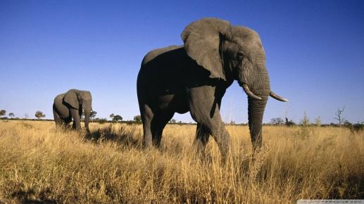 Elephants 2