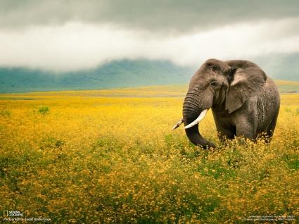 Elephants - Nat. Geo. 2