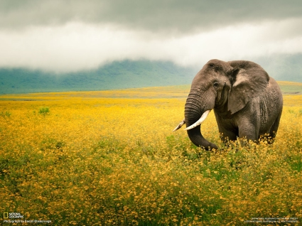 Elephants - Nat. Geo. 2
