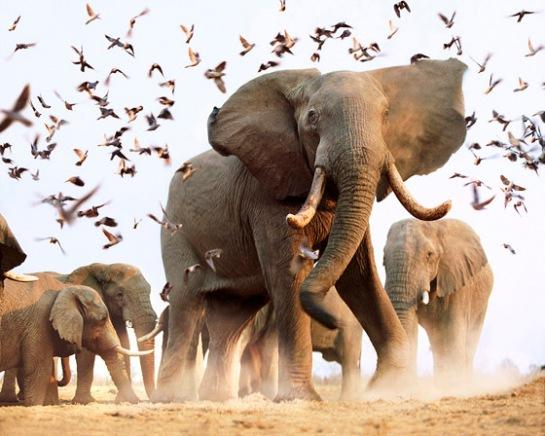 Elephants - Nat. Geo.