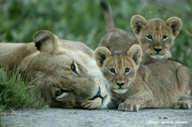 Lions 3