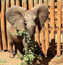 Rorogoi's fostering image - 2013 - photo courtesy of DSWT