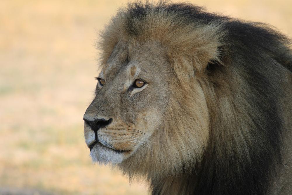 Cecil the Lion 2