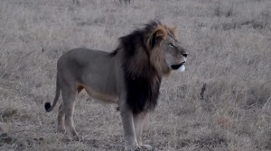 "Cecil the Lion. Are lions a ""fearsome beast?"""