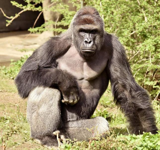 Harambe, a 17-year-old gorilla at the Cincinnati Zoo